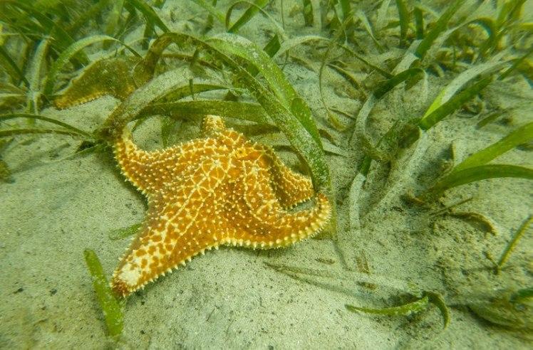 Estrella de mar en movimiento
