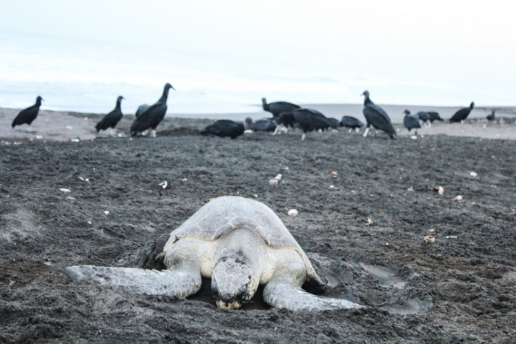 La tortuga y los depredadores de huevos al acecho
