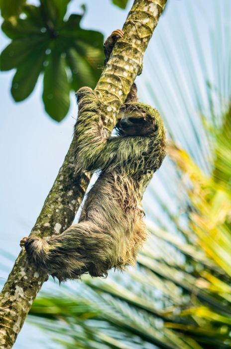 Un perezoso trepando su árbol en Puerto Viejo