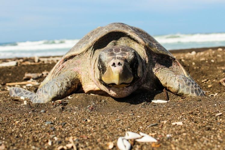 Tortuga Lora desovando en Playa Ostional