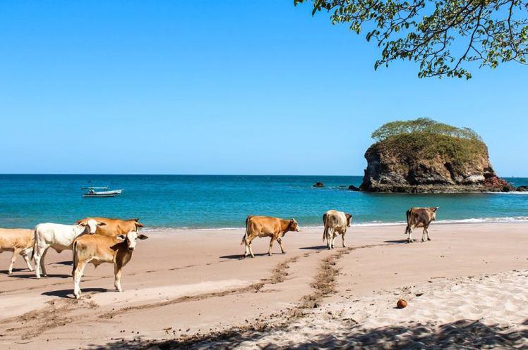 Bahía del Pirata invadida por vacas