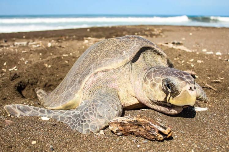 Desove de tortugas en Playa Ostional