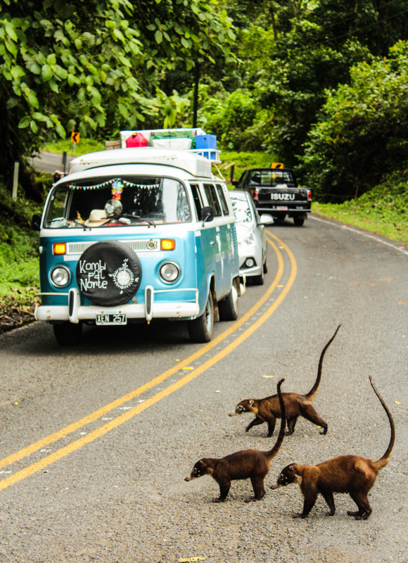 Pizotes cruzando la ruta en Arenal