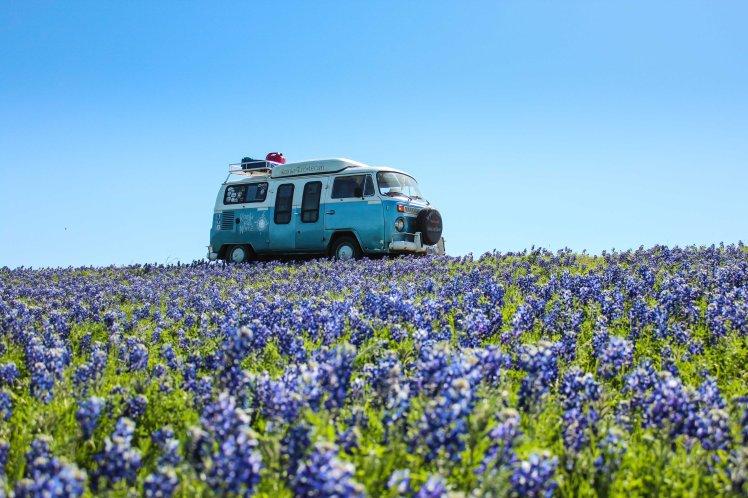 Dora y los Bluebonnets, flor típica de Texas. / Dora and the Bluebonnets, Texas' flower.