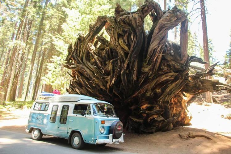 Las raices de una Sequoia caída, más grande que Dora / The roots of a dead Sequoia, bigger than Dora