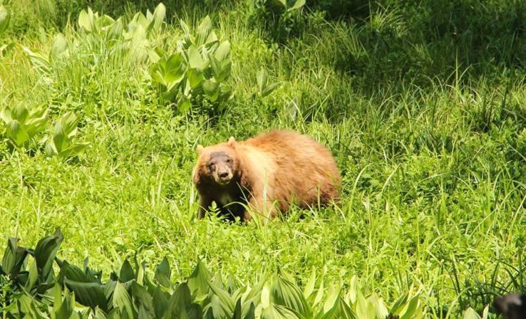 Oso Negro comiendo en Sequoia / Black Bear eating at Sequoia