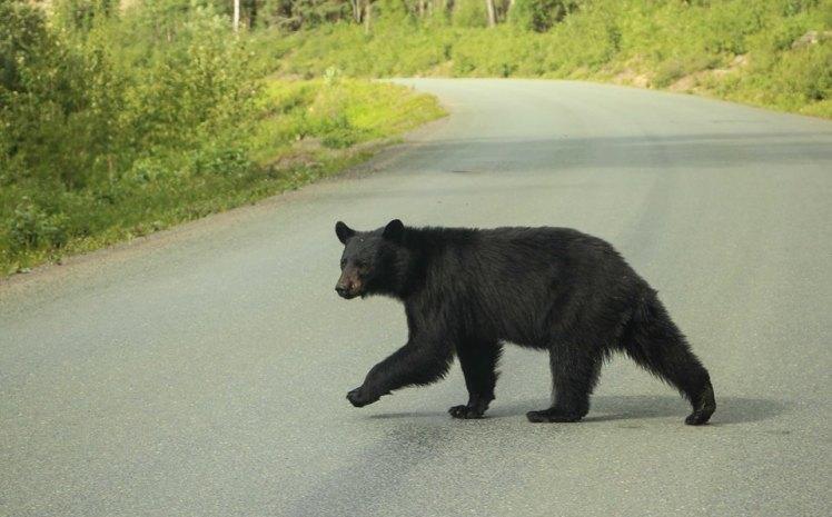 Oso negro cruzando la ruta / Black bear crossing the road