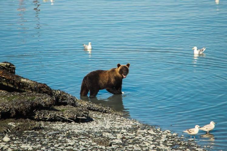 Grizzly cazando salmones / Grizzly bear fishing salmon