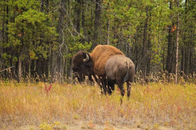 Uno de los tantos bisontes que cruzamos en la ruta
